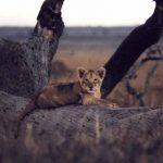 lion_cub_lg